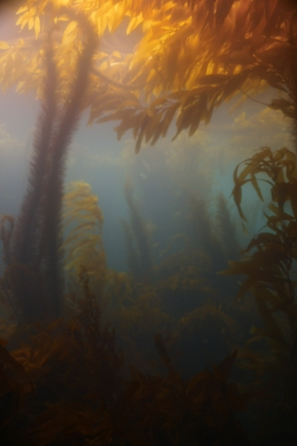 kelp and Saragasum